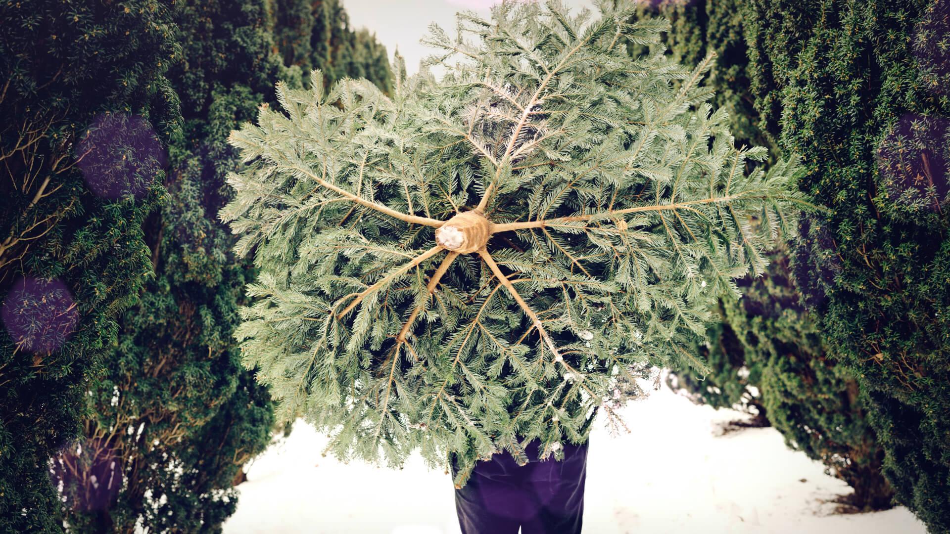 Bio Weihnachtsbäume